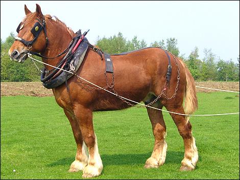 Крепкая Суффольская порода лошадей, фото