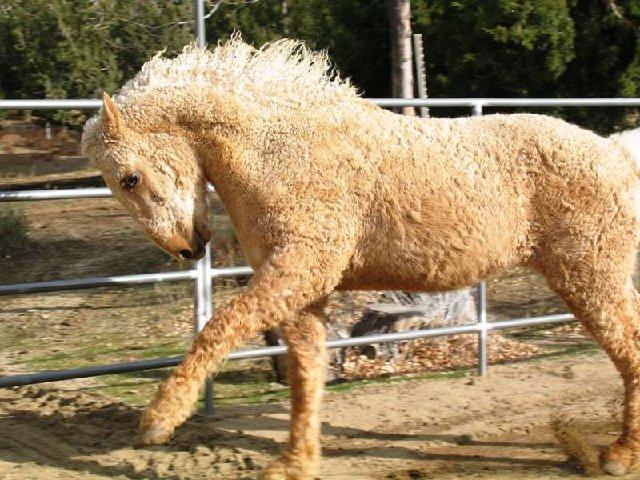 Кучерявая Забайкальская лошадь, фото