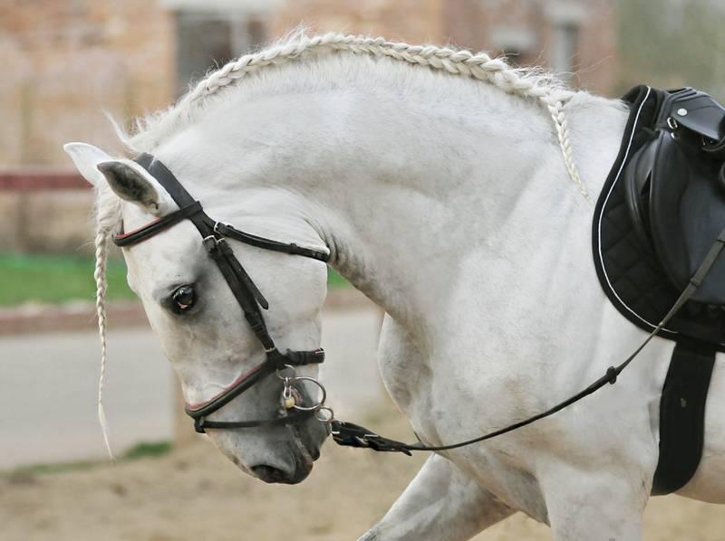 Липицианская лошадь с косичкой, фото