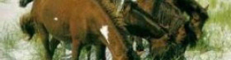 Мегрельская порода лошадей