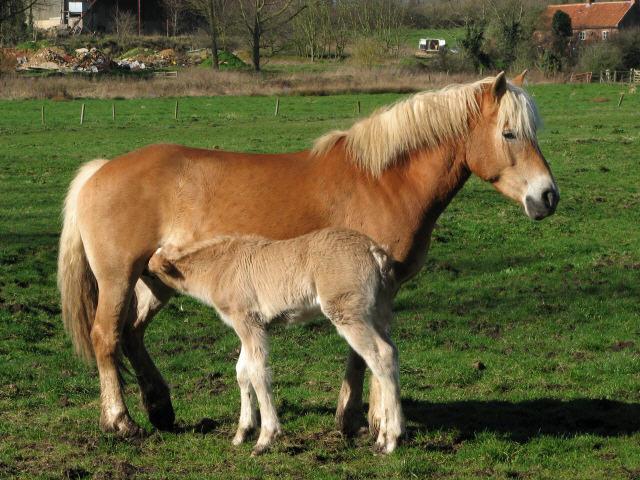 Лошадь Хафлингер с жеребенком, фото