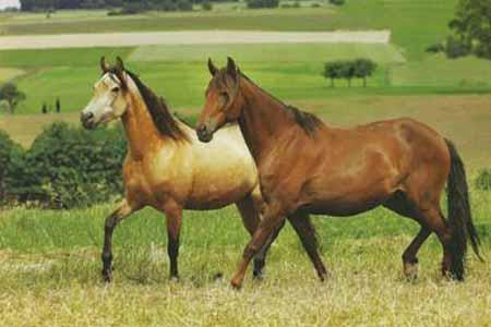 Лошади породы Мангаларга Маршадор, фото