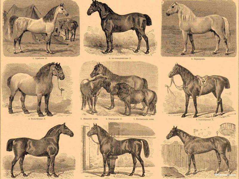 Лошади породы Рэкинг хорс, фото