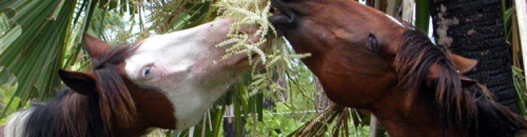 Лошадь породы абако-барб