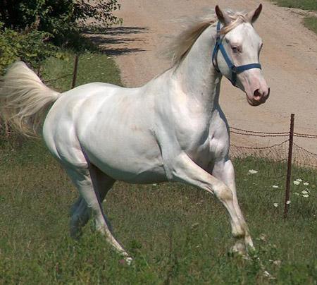 Лошадь Американский альбинос, фото