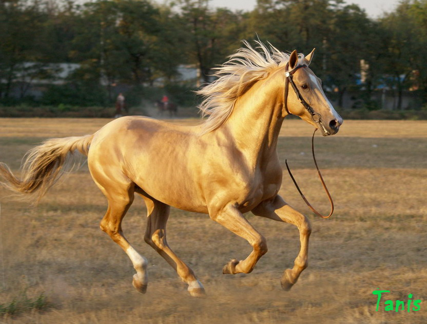 фото лошадь донская