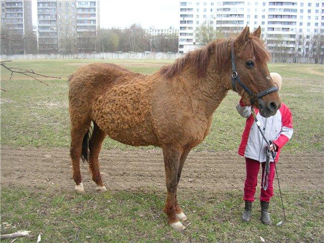 Лошадь Локайской породы, фото