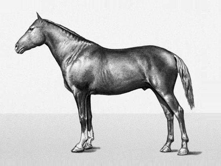 Лошадь Мегрельской породы, фото