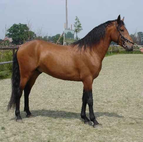 Лошадь породы Альтер-реал, фото