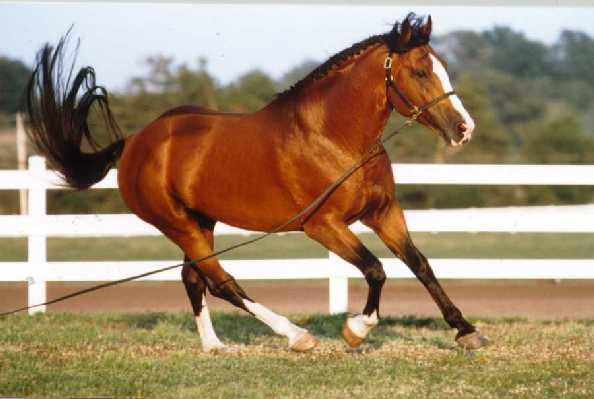Лошадь породы Ирландский гунтер гнедой масти, фото