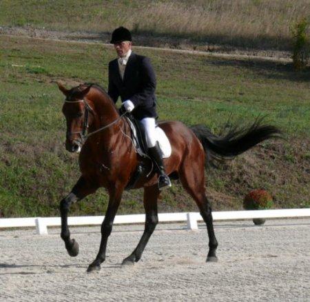 Лошадь породы Ирландский гунтер с наездником, фото