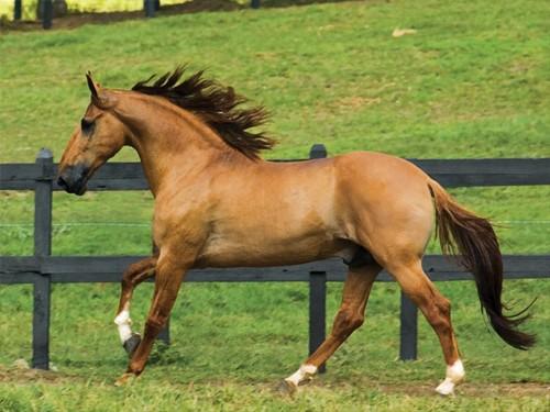 Лошадь породы Камполина, фото