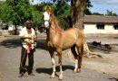 Лошади породы Катхиавари