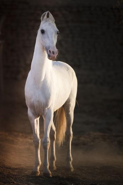 Лошадь породы Катхиавари, фото