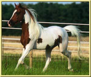 Лошадь породы Квараб на бегу, фото