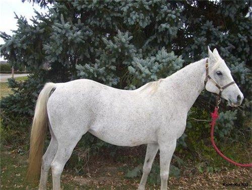 Лошадь породы Квараб, фото