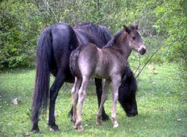 Лошадь породы Лосино с жеребенком, фото