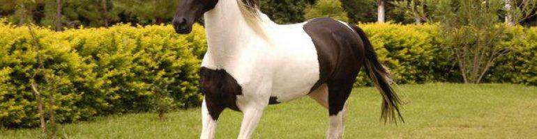 Лошади породы Мангаларга Маршадор