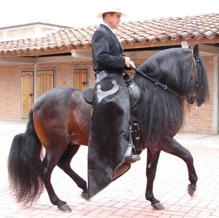 Лошадь породы Пасо Финно с наездником, фото