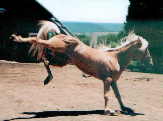 Лошадь породы Пасо Фино, фото