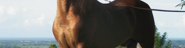 Лошадь породы Пасо Фино