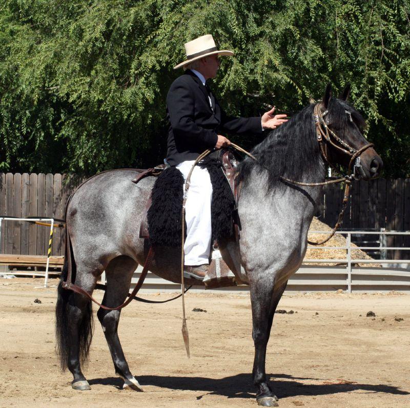 Лошадь породы Перуанский пасо с наездником, фото