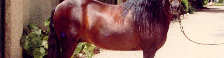 Лошади породы Перуанский пасо