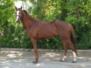 Лошадь породы Плевен, фото