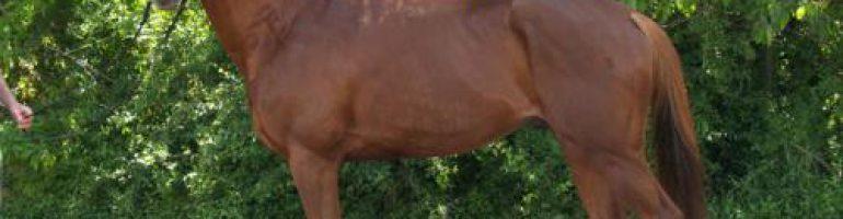 Лошадь породы Плевен
