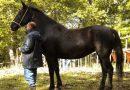 Лошадь породы Сан Фрателло