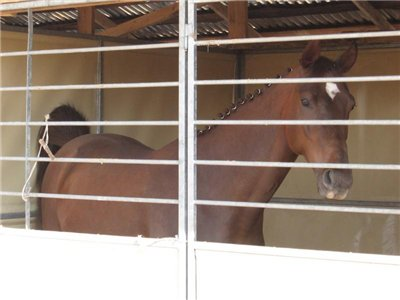 Лошадь породы Солерно в конюшне, фото