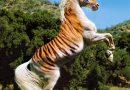 Лошади породы Тайгер