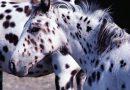 Лошадь породы Уокалуза (Walkaloosa)