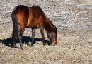 Лошадь породы Флоридский Крэкер