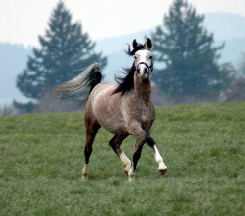 Лошадь породы Шагия араб бежит по лугу, фото
