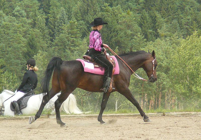 Лошадь породы Шагия араб во время езды, фото
