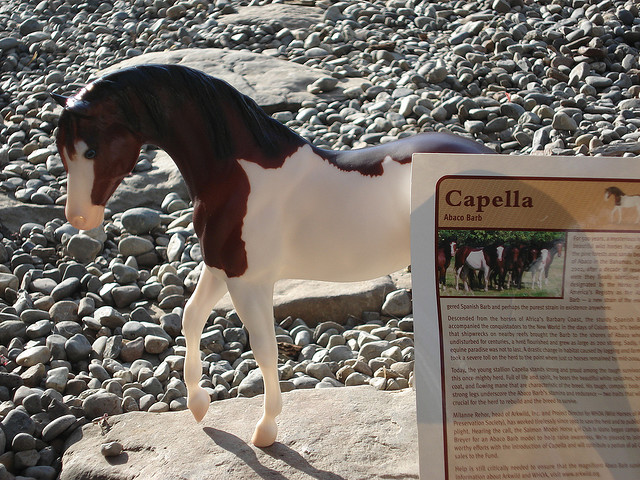 Лошадь породы абако-барб, фото