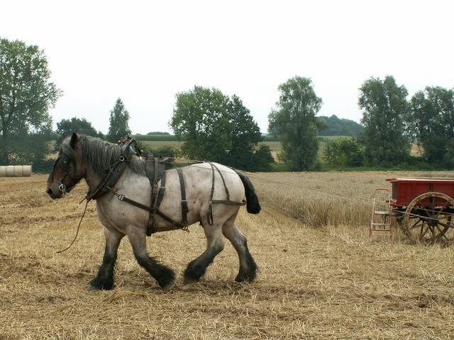 Лошадь породы арден, фото