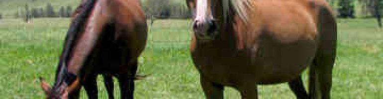 Лошади породы сток хорс