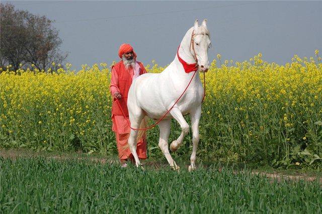 Как выглядит лошадь марвари