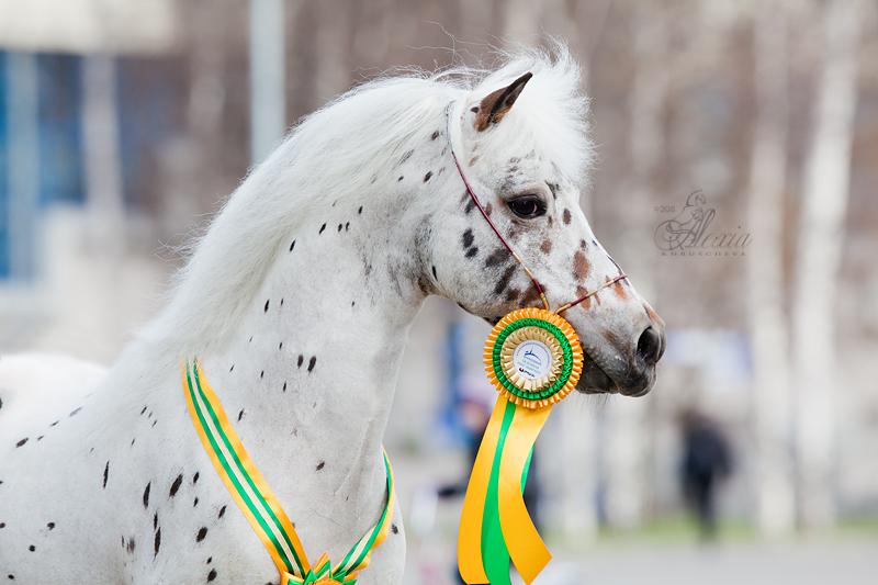 Мини-Аппалуза с медалью, фото