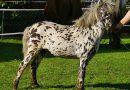 Мини-лошади породы Мини-Аппалуза