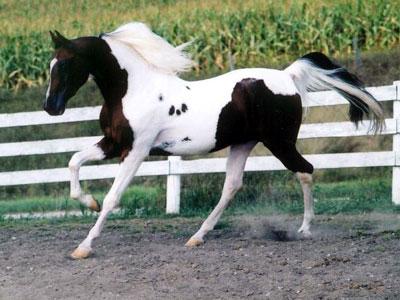 Национальная шоу-лошадь, фото