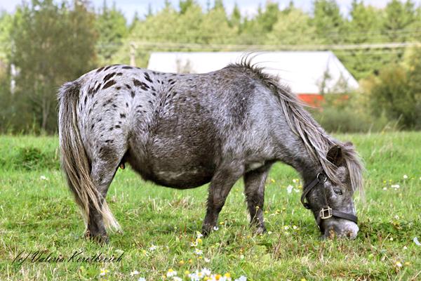 На фото Чубарая мраморная масть лошади