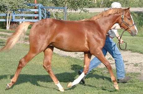 Новая порода - пони Велара, фото