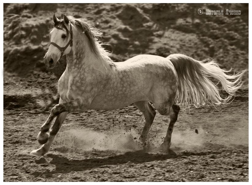 Орловский рысак порода лошадей