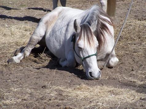 Отдыхающая лошадь породы Флоридский Крэкер, фото
