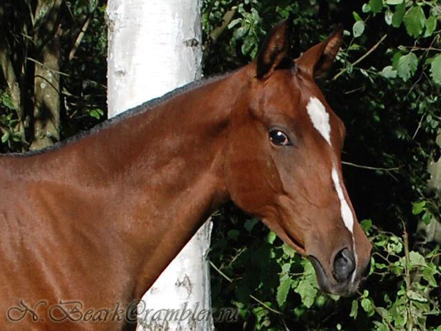 Персидская лошадь, фото