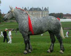 Першерон — лошадиная порода