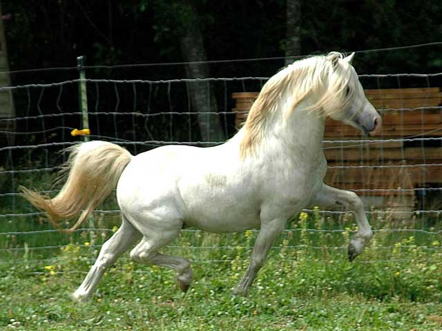 Порода пони Велара белого цвета, фото